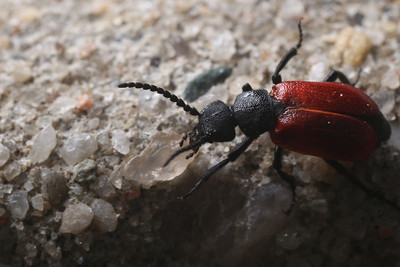 A beetle wandered around my backyard.