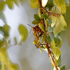 Cicada Killer Wasp with Cicada