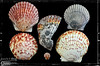 These are the largest and smallest of these type of shells that I have