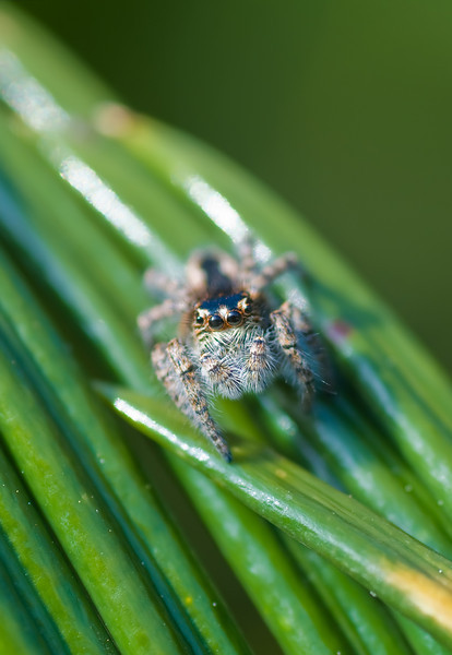 W_oOOo_W - (Jumping Spider)