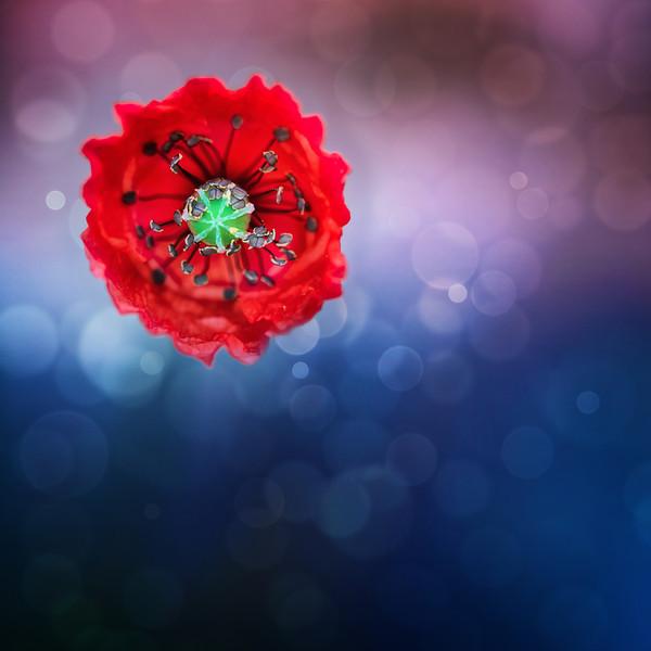 <b>Red Poppy</b> <i>Canon EOS 5D Mark II + Canon EF 100mm f/2.8 Macro USM</i>