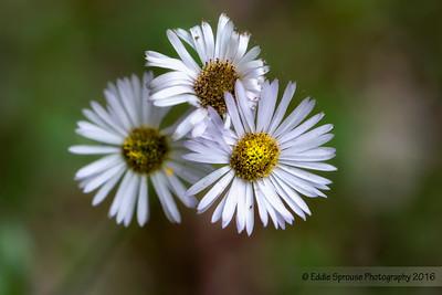 Small Flowering Weed