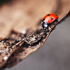 <b>Ladybird</b> <i>Canon EOS 5D Mark II + Canon EF 100mm f/2.8 Macro USM</i>