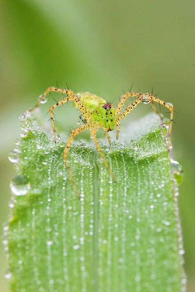 A green lynx spider on a dewy blade of grass.