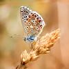 Azuré Butterfly
