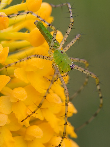 A green lynx spider on a fringeless yellow orchid.