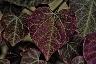Redbud Leaf 5-12-2016