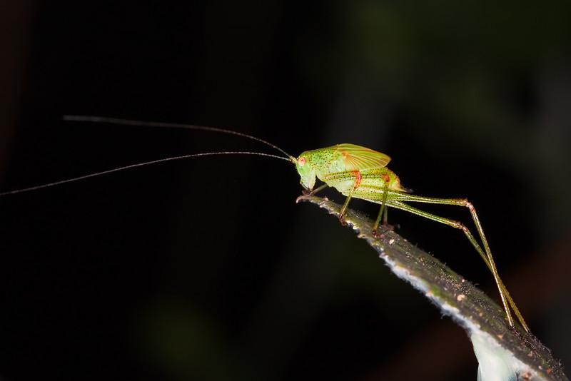 <b>Green Grasshopper #2</b> <i>Canon EOS 5D Mark II + Canon EF 100mm f/2.8 Macro USM</i>