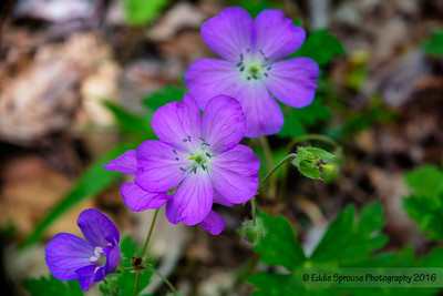 Tiny Purple Wild Flowers in Cataloochee 4-30-16