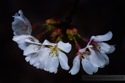 Weeping Cherry Blooms 3-27-2016