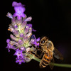 <b>To Bee or not to Bee</b> <i>Canon EOS 5D Mark II + Tamron SP AF 90mm F/2.8</i>