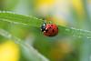Ladybug on a dewy morning.