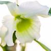Dendrobium Blanche