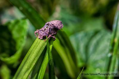 Dragonfly Pupa Shell at Cataloochee 4-30-16
