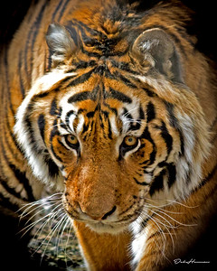 Siberian Tiger at Cat Rescue in IN