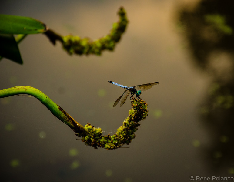 Dragonfly Over Pond