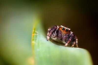 Jump Spider Close Up