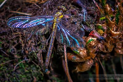 Dragonfly in Cataloochee 4-30-16