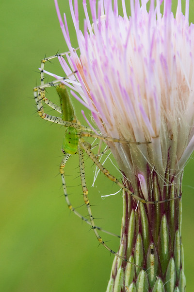 A green lynx slider on a thistle flower.