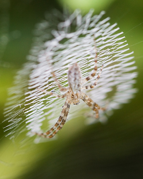 A spider waiting for its web for prey.
