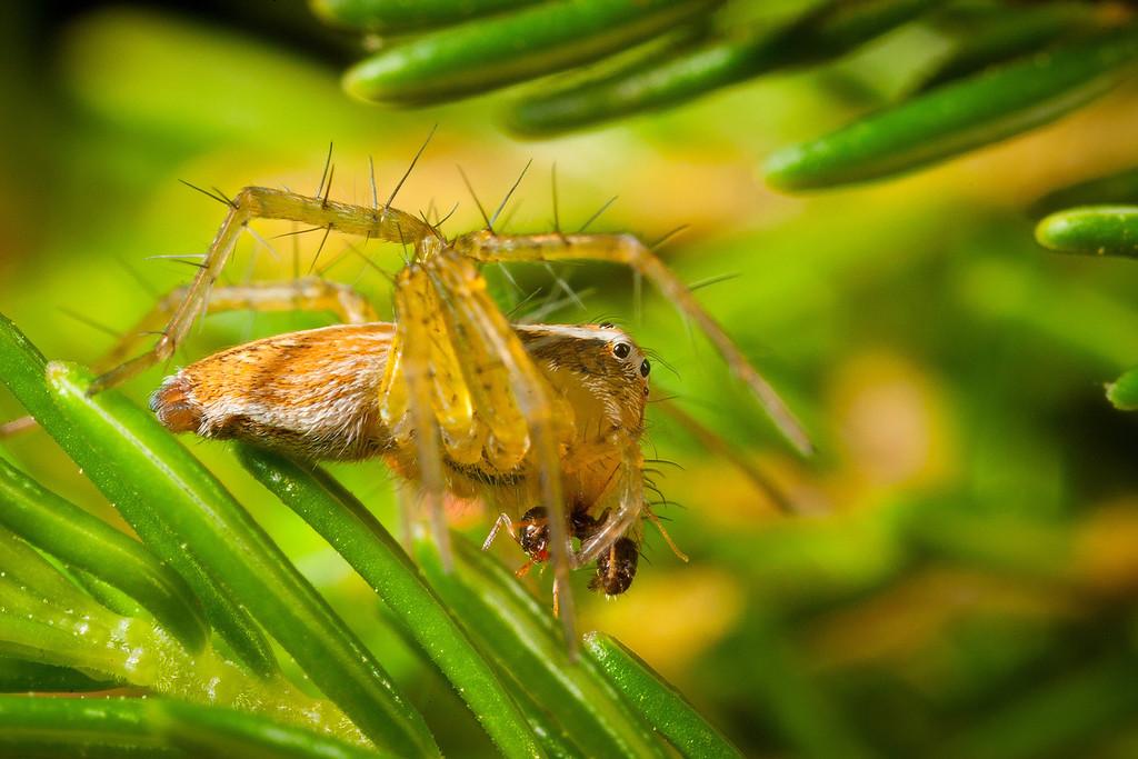 Lynx Spider