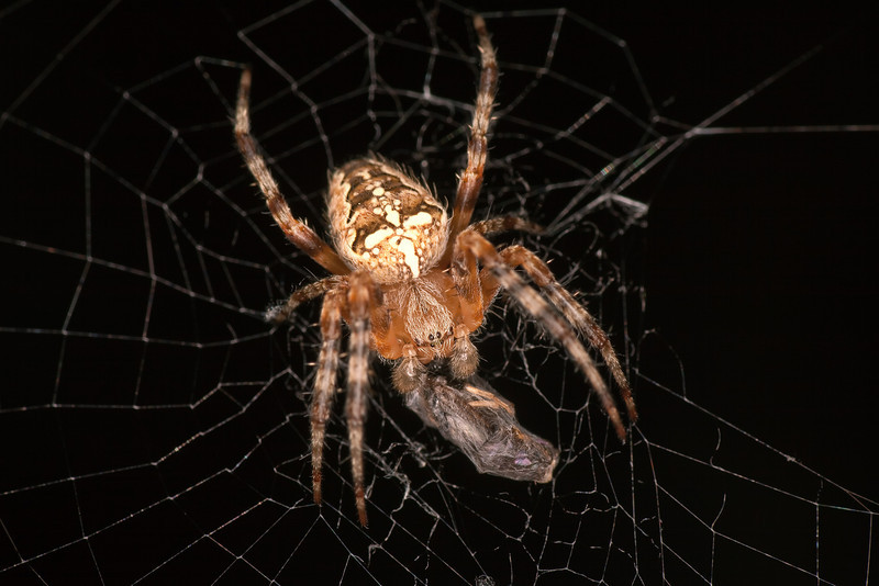 <b>Cross Orbweaver Spider (Araneus diadematus)</b> <i>Canon EOS 5D Mark II + Tamron SP AF 90mm F/2.8</i>