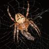 <b>Cross Orbweaver Spider (Araneus diadematus)</b> <i>Canon EOS 5D Mark II + Tamron SP AF 90mm F/2.8</i>