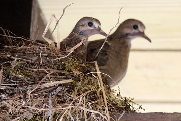 16.09.01 Mourning Doves on Porch