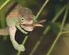 parsoniichameleon