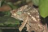Chameleon10
