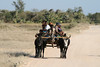 Zebu Cart.  Also known as Public Transportation in Western Madagascar.