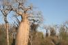 BaobabTree01