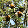 FlyingFoxes