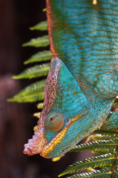 Parson's chameleon (Calumma parsonii), Male