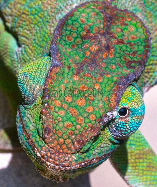 Parson's Chameleon  (Calumma parsonii), Female
