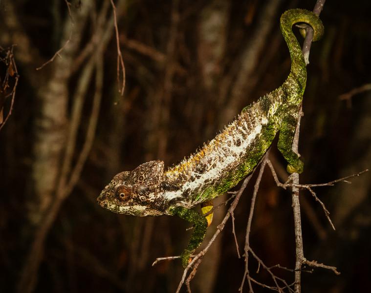 Thorny Chameleon, Berenty