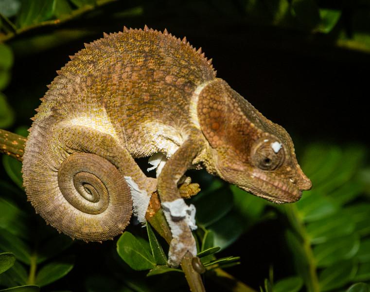 Nose-horned Chameleon