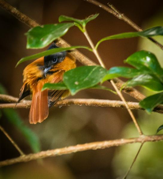 Madagascar Paradise Flycatcher ( female)