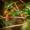 Madagascar Paradise Flycatcher ( female)