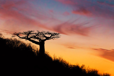 Baobab tree silhouette after sunset Madagascar