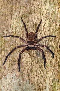 giant huntsman spider on tree Madagascar