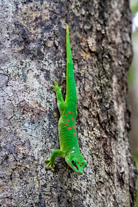 In contrast this is a day gecko  (there are several varieties)