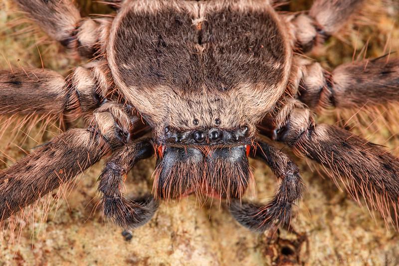 Genus / (Sparassidae)