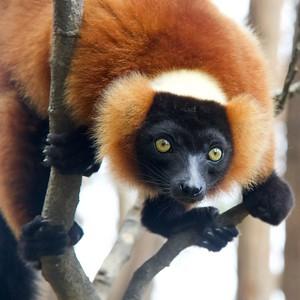 Red Ruffed  Lemur Closeup