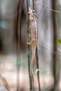 There are additional varieties of chameleon in the South