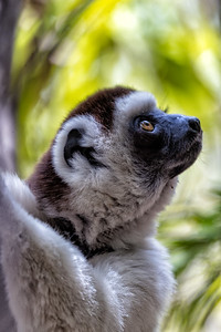 The white dancing Sifakas are quite famous but again there are many varieties