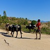 Zebu, a humped cattle, are a common site on the roads and fields of Madagascar