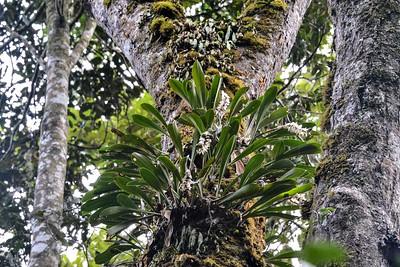 Bulbophyllum occlusum MDG_5532