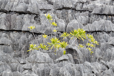 Tsingy is a term used to describe the sharp rocks found in clusters around the island.  Plants grow among them, but walk carefully as you will get cut if you fall