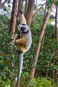 Sifaka Lemur in Tree